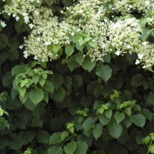 Vijoklinės hortenzijos